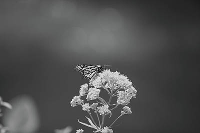 Photograph - Monarch Butterfly 2 by David Stasiak