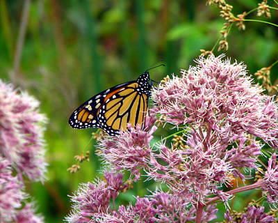Photograph - Monarch Butterfly 2 by George Jones