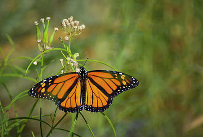 Photograph - Monarch Butterfly 2 by Rick Mosher