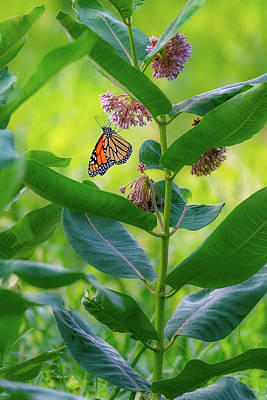 Photograph - Monarch Butterfly 3 by Bill Wakeley