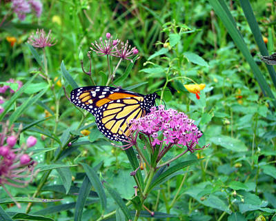 Photograph - Monarch Butterfly 3 by George Jones