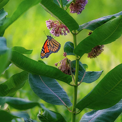 Photograph - Monarch Butterfly 3 Square by Bill Wakeley