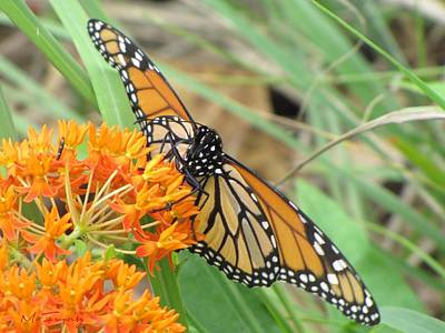 Art Print featuring the photograph Monarch Butterfly 3049 by Maciek Froncisz