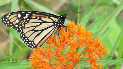 Art Print featuring the photograph Monarch Butterfly 3050 by Maciek Froncisz