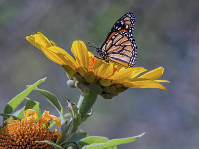 Photograph - Monarch Butterfly 4414-040418-1cr by Tam Ryan