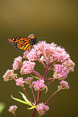 Photograph - Monarch Butterfly 5 by David Stasiak