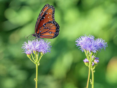 Photograph - Monarch Butterfly 7476-101017-2cr by Tam Ryan