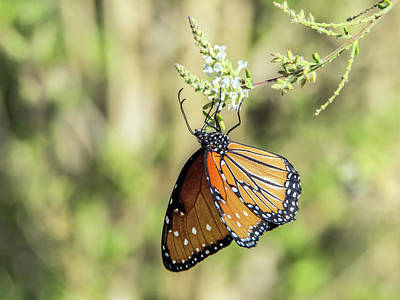 Photograph - Monarch Butterfly 7504-101017-2cr by Tam Ryan