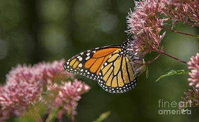 Photograph - Monarch Butterfly by Alana Ranney