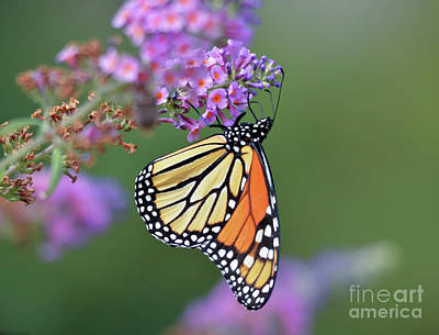 Photograph - Monarch Butterfly - Amazing Wings by Kerri Farley