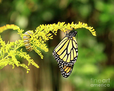 Photograph - Monarch Butterfly And Caterpillar On Goldenrod Flowers by Luana K Perez