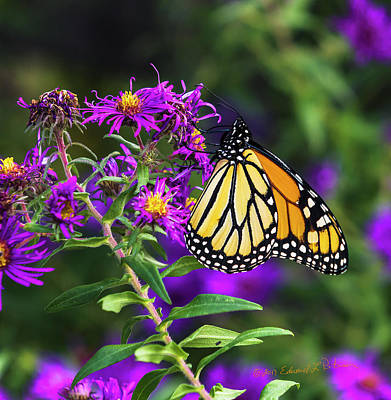 Photograph - Monarch Butterfly And Purple Flower by Edward Peterson