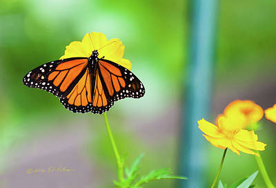 Photograph - Monarch Butterfly And Yellow Flowers by Edward Peterson