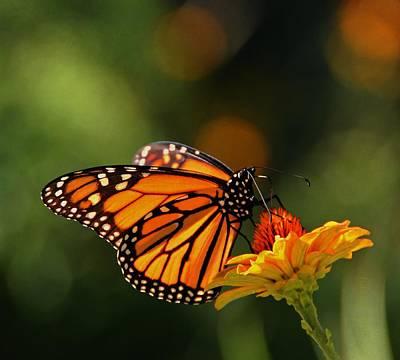 Monarch Butterfly And Zinnias  Art Print