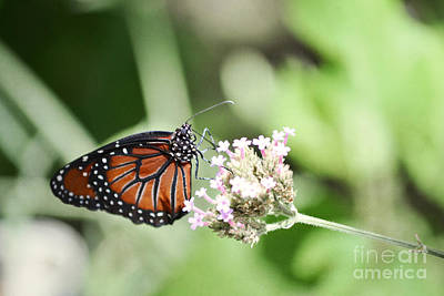 Photograph - Monarch Butterfly by Andrea Hazel Ihlefeld