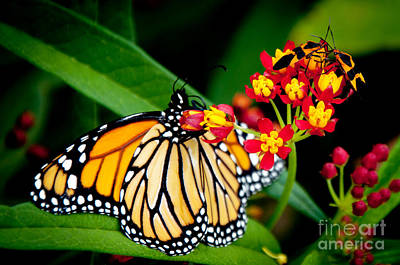Photograph - Monarch Butterfly At Lunch With 2 Box Elder Bugs by Andee Design