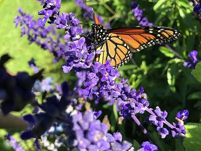 Photograph - Monarch Butterfly Beauty by Jason Nicholas