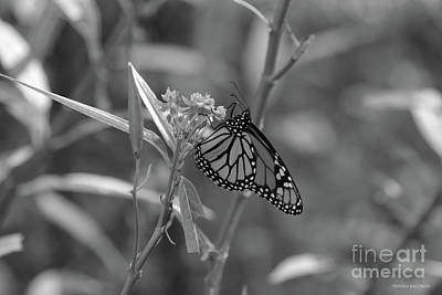 Photograph - Monarch Butterfly-bw by Tannis Baldwin