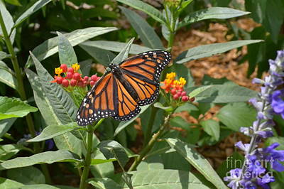 Art Print featuring the photograph Monarch Butterfly by Carol  Bradley