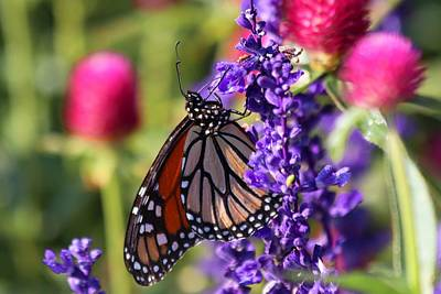 Photograph - Monarch Butterfly  by Carol Montoya