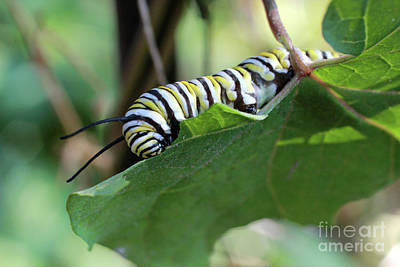 Common Milkweed Photograph - Monarch Butterfly Caterpillar Eating Milkweed Leaf by Adam Long