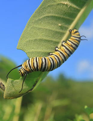 Photograph - Monarch Butterfly Caterpillar by John Burk