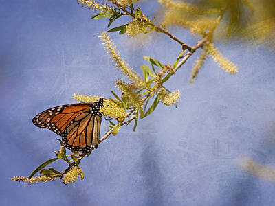 Photograph - Monarch Butterfly by Charles McKelroy