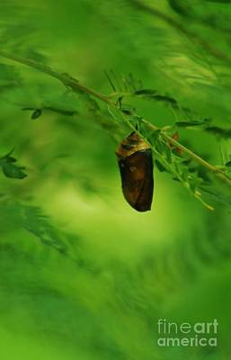 Photograph - Monarch Butterfly Chrysalis by Craig Wood
