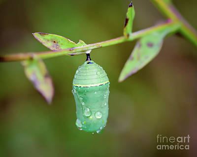 Photograph - Monarch Butterfly Chrysalis by Kerri Farley