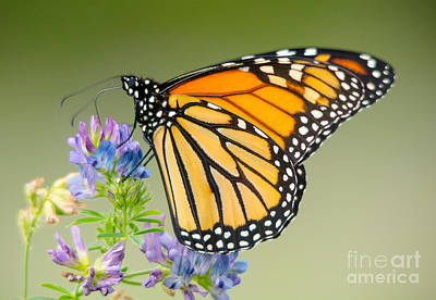 Photograph - Monarch Butterfly Close Up by Cheryl Baxter
