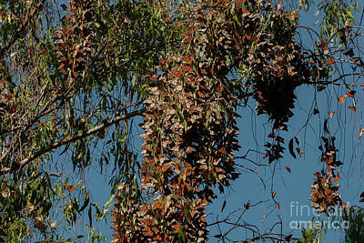 Photograph - Monarch Butterfly Clusters 1 by Glenn Franco Simmons