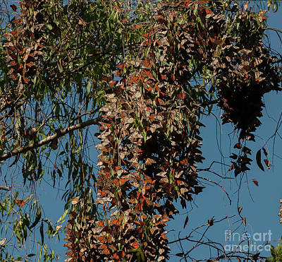Photograph - Monarch Butterfly Clusters 2 by Glenn Franco Simmons