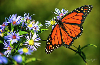 Photograph - Monarch Butterfly by David A Lane