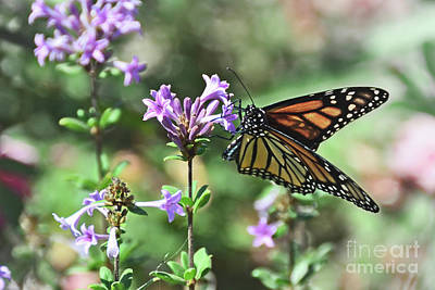 Photograph - Monarch Butterfly by Debby Pueschel