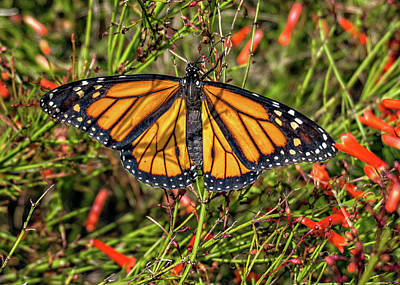 Photograph - Monarch Butterfly by Dennis Dugan
