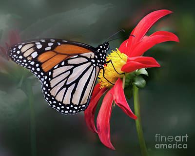 Photograph - Monarch  Butterfly Enjoying A Dahlia by Ann Jacobson