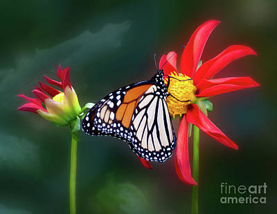 Photograph - Monarch Butterfly Feasting On Dahlia 'kkk Katie' by Ann Jacobson