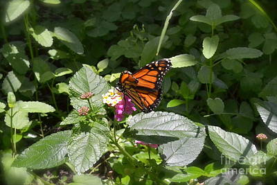 Art Print featuring the photograph Monarch Butterfly Feeding by Carol  Bradley