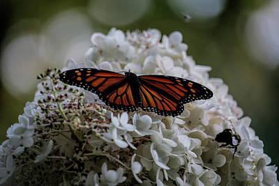 Photograph - Monarch Butterfly Feeding On Hydrangea Tree by Dale Kauzlaric