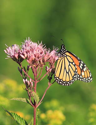 Photograph - Monarch Butterfly Feeding On Joe Pye Weed by John Burk