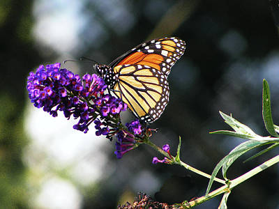 Photograph - Monarch Butterfly Fresco by Margie Avellino