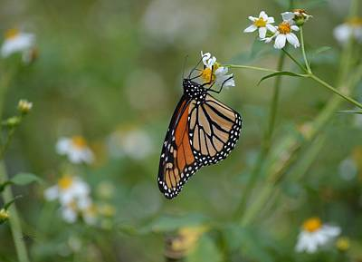 Photograph - Monarch Butterfly - Hanging On by rd Erickson