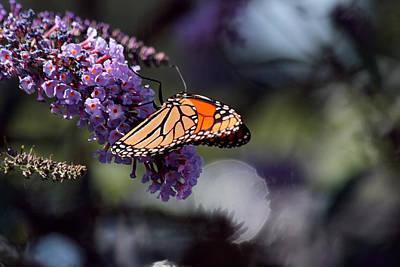 Monarch Butterfly Hard At Work Art Print by Richard Gregurich