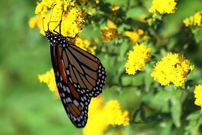 Photograph - Monarch Butterfly II by Carol Montoya