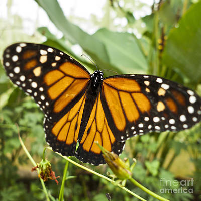 Monarch Butterfly II Art Print by Heiko Koehrer-Wagner