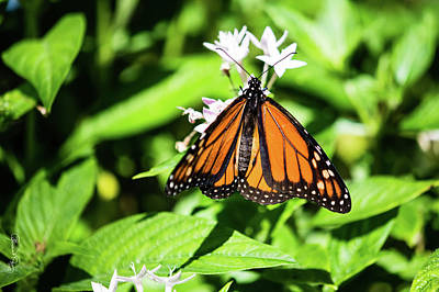 Photograph - Monarch Butterfly IIi by Susan Molnar