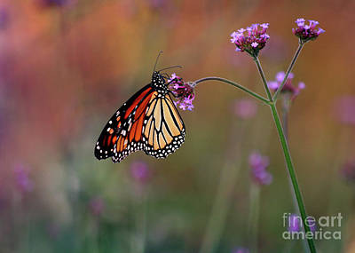 Photograph - Monarch Butterfly In Autumn 2011 by Karen Adams
