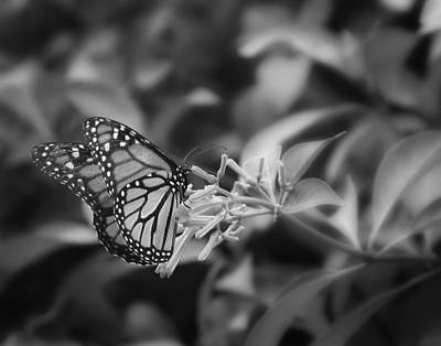 Monarch Butterfly In Black And White Art Print
