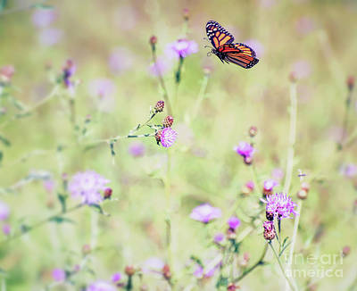 Photograph - Monarch Butterfly - In Flight Over The Knapweed by Kerri Farley