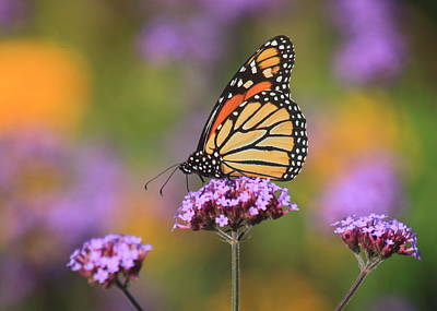 Photograph - Monarch Butterfly In Garden by John Burk